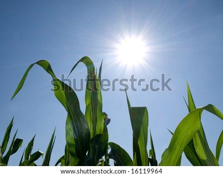 Corn crops against shining sun during summer - stock photo