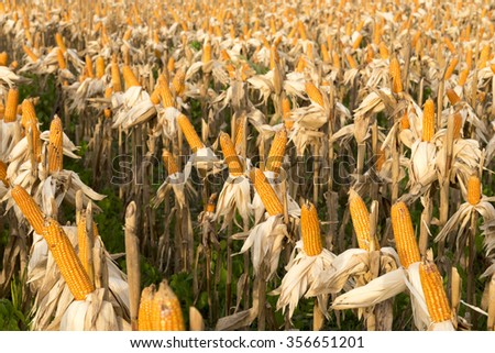 Corn dried on the field, Indonesia - stock photo
