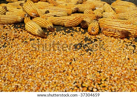 Corn ear and seeds outdoor, after the rain - stock photo
