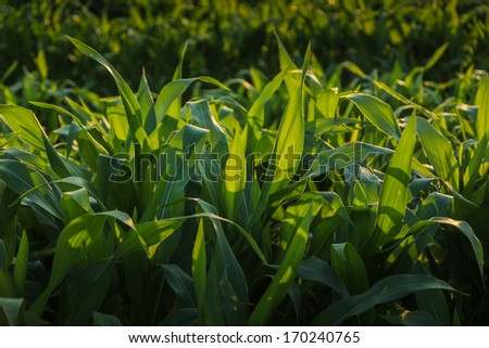 Corn farm. - stock photo