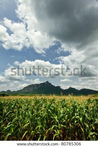 corn farm - stock photo
