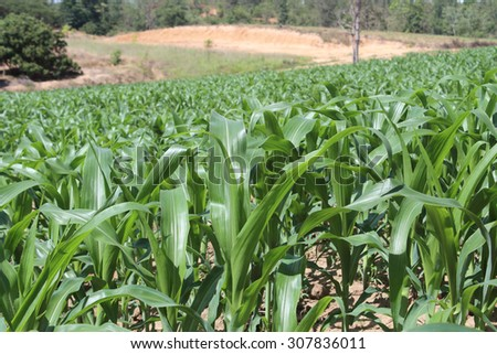 Corn farm against, nature countryside - stock photo