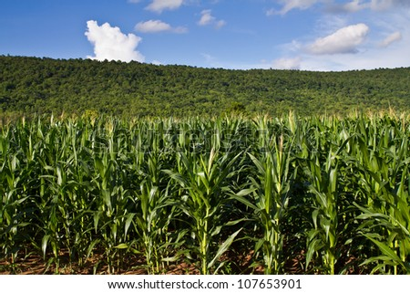 Corn farm in countryside of Thailand - stock photo