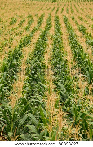 corn farm is blossomming - stock photo