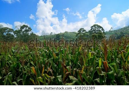 corn farm with blue sky - stock photo
