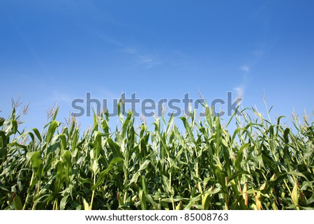 Corn field against blue sky - stock photo