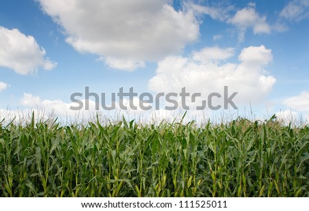Corn field against cloudy sky with copy space - stock photo