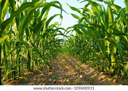 Corn Field Sky Beautiful Clouds Corn Stock Photo 132620504 ...