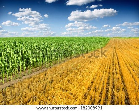 Corn Field and blue sky - stock photo