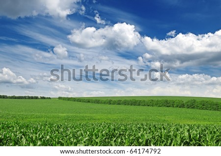 corn field and blue sky - stock photo