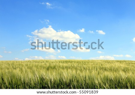 corn field and cloudy blue sky - stock photo