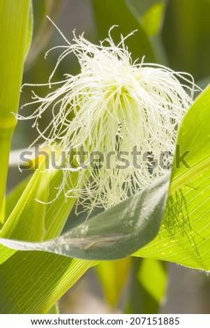 Corn field and corn on the cob. - stock photo