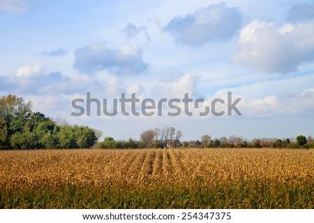 Corn field at autumn, Belgium - stock photo