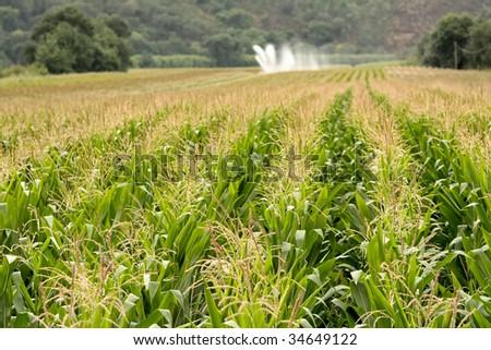Corn field at summer - stock photo