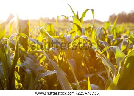 Corn field at the sunset   - stock photo