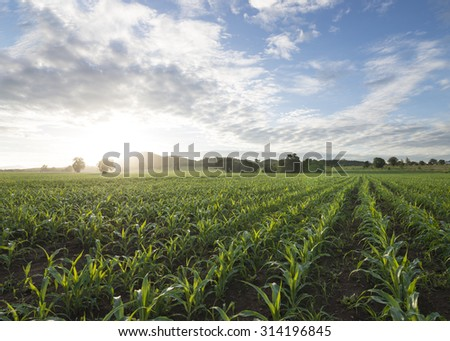 corn field,blue sky and sun in the morning - stock photo