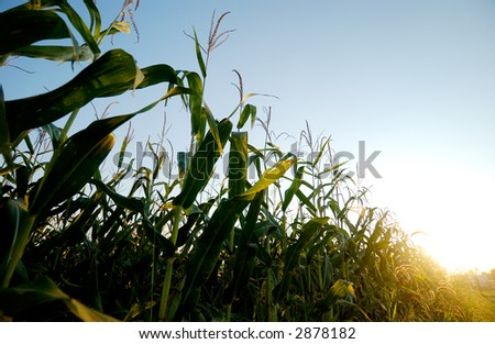 Corn field close to harvest time - stock photo