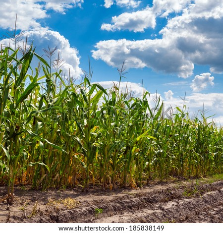 corn field close-up at the sunset  - stock photo