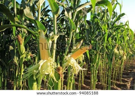 corn field, corn on the cob - stock photo