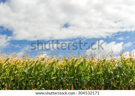Corn field, corn on the cob. Selective Focus - stock photo