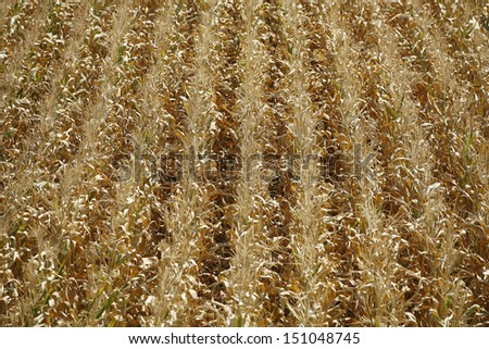 corn field drought of the large heat can and background - stock photo