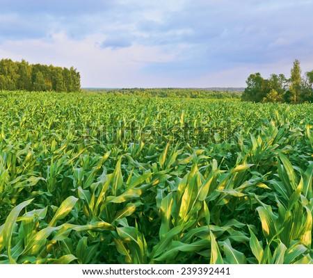 Corn field. Evening in countryside. Russia - stock photo