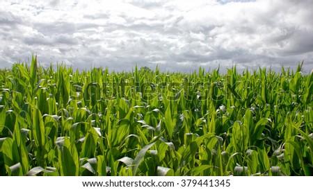 Corn Field Farming. Cloudy Sky - stock photo