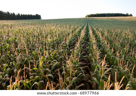 Corn Field from the Air - stock photo
