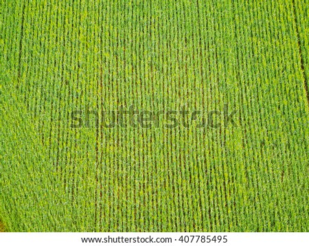 corn field from the top view