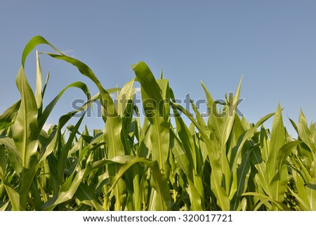 Corn field in clear day - stock photo