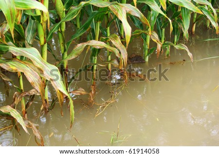 corn field in flood - stock photo