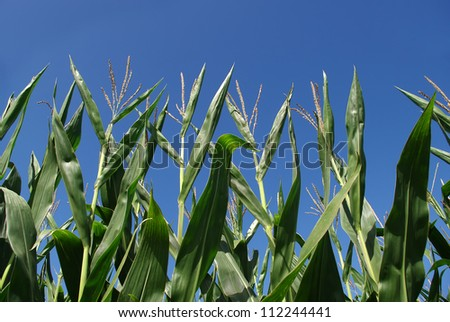Corn field in late summer against a blue sky.
