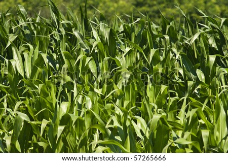 Corn field in mid july in romania