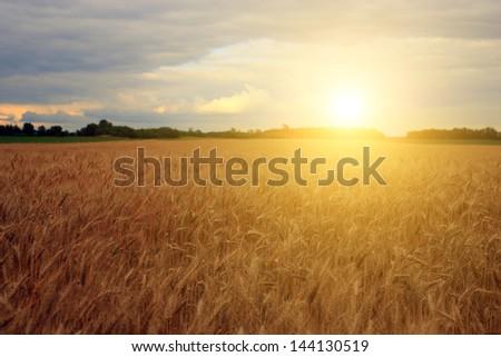 Corn field in sunset - stock photo