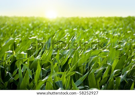 Corn field in sunset - maize - stock photo