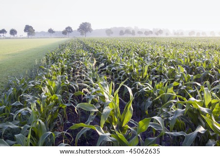 corn field in the foggy morning - stock photo