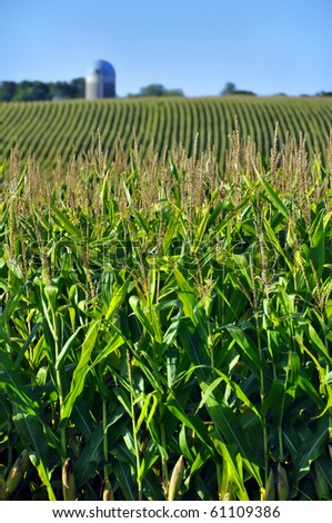 Corn field in the late afternoon sun - stock photo