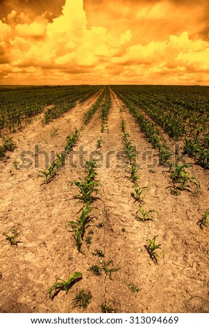 Corn field in the sunset