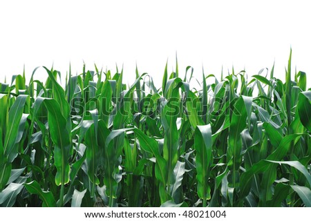Corn Field Isolated on White - stock photo