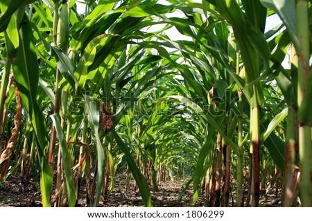 Corn field, maize - stock photo