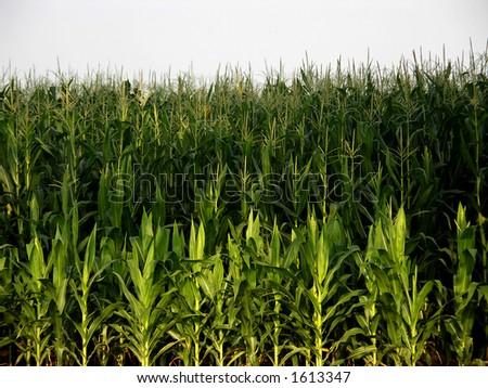 Corn Field  Mason, OH - stock photo