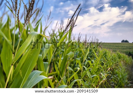 Corn field on a background of blue sky. - stock photo