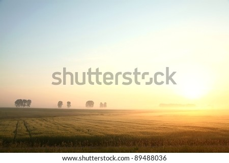 Corn field on a foggy, cloudless morning. - stock photo