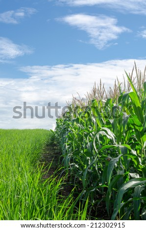 Corn field on mountain in clear day