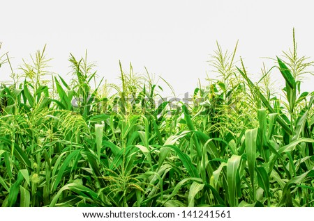 corn field plants against white background  in countryside northern Thailand. - stock photo