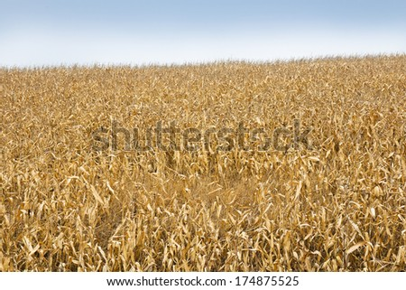 Corn field ready for harvest
