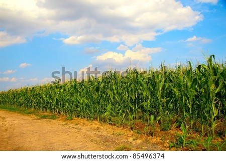 Corn field scene - stock photo