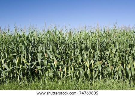 Corn field, sweetcorn in field. Maize - stock photo