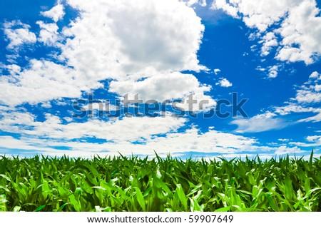 Corn field under a beautiful summer sky - stock photo
