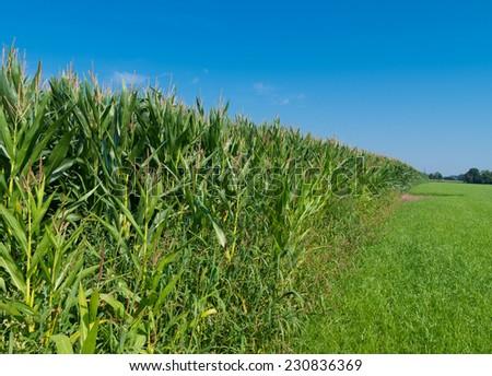 corn field under a clear blue sky - stock photo